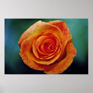 """Flujo blanco color de rosa grandiflora de """"Aroyque Poster"""