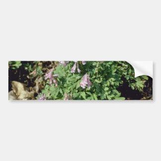 Flujo pálido rosado del Corydalis Corydalis Sempe Etiqueta De Parachoque