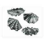Fluted Giant Clam Post Card