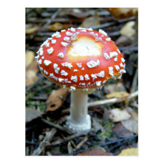 Fly Agaric {Amanita muscaria} Postcard