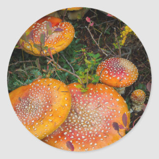 Fly agaric mushrooms at Mowich Lake Classic Round Sticker