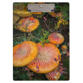 Fly agaric mushrooms at Mowich Lake Clipboard