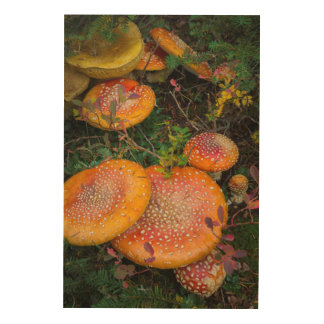 Fly agaric mushrooms at Mowich Lake Wood Wall Art