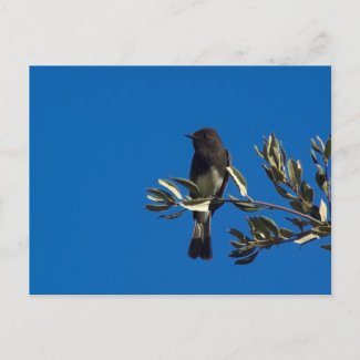 Fly Catcher Post Card