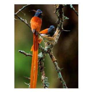 Flycatcher africano 2 del paraíso tarjeta postal