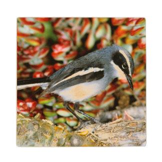 Flycatcher de hadas (Stenostira Scita) en la Posavasos De Arce