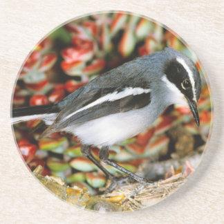 Flycatcher de hadas (Stenostira Scita) en la Posavasos De Arenisca