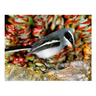 Flycatcher de hadas (Stenostira Scita) en la Tarjeta Postal