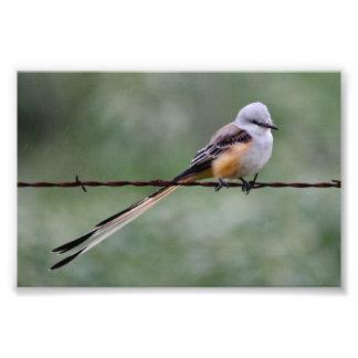 Flycatcher Scissor-atado encaramado en el alambre Fotografías