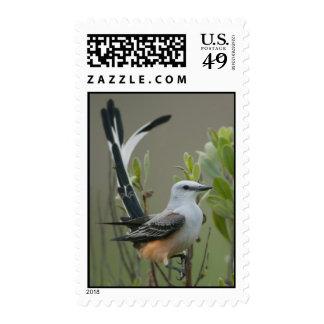 Flycatcher Scissor-atado (forficatus del Tyrannus) Sellos Postales