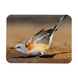 Flycatcher Scissor-Atado (Tyrannus Forficatus) Imán Rectangular