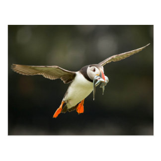 Flying Atlantic Puffin with fish in beak Postcard