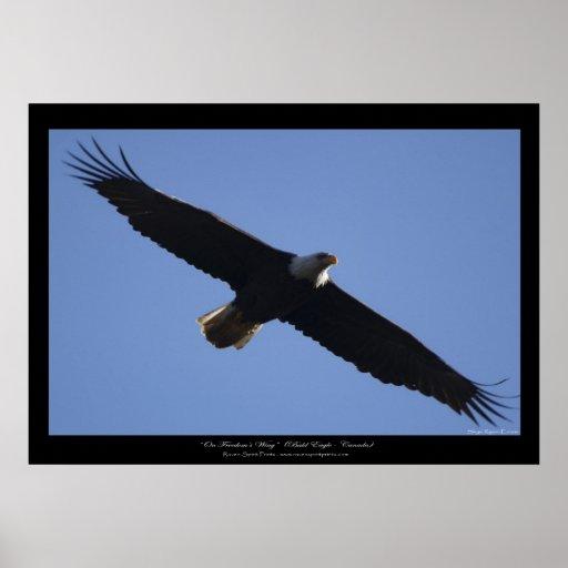 Flying Bald Eagle Wildlife Photo Print