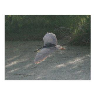 Flying Black-Crowned Night-Heron Postcard