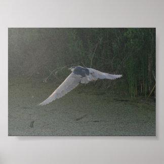 Flying Black-Crowned Night-Heron Posters