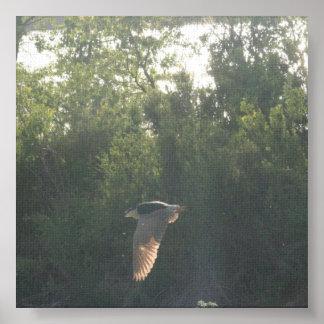 Flying Black-Crowned Night-Heron Poster
