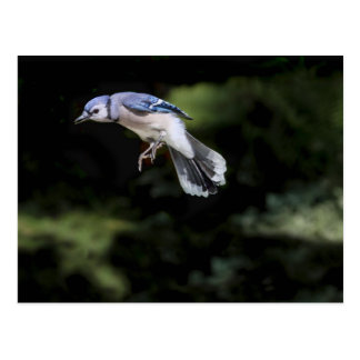 Flying Blue Jay Post Card