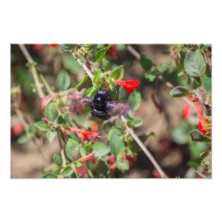Flying Bumblebee Photograph