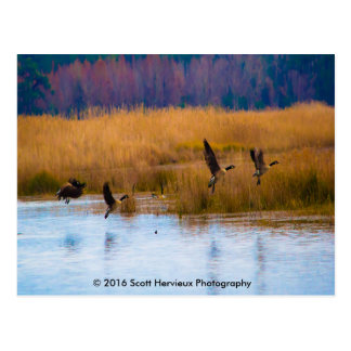Flying Canadian Geese Post Card