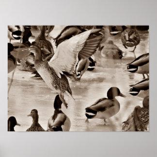 Flying Duck Mallard Poster in Sepia