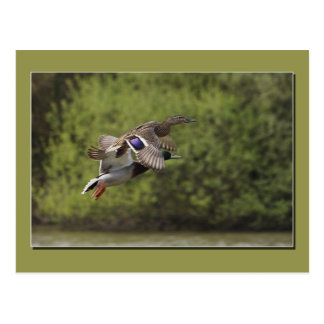 Flying Duck Postcard