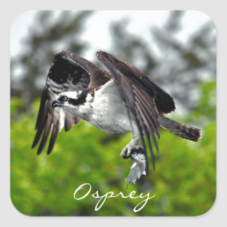 Flying Fish Eagle Osprey Nature Photograph 7 Square Sticker
