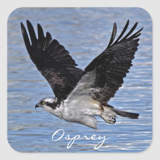 Flying Fish Eagle Osprey Nature Photograph Square Stickers