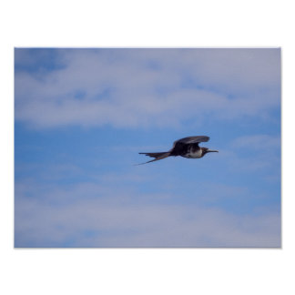 Flying frigate bird poster