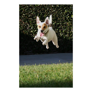 Flying Jack Russell Terrier (cropped) Poster