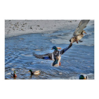 Flying Mallard Duck & Drake Wildlife Photo Poster