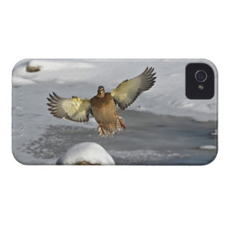 Flying Mallard Duck Hen 2 Wildlife Photo iPhone 4 Cover