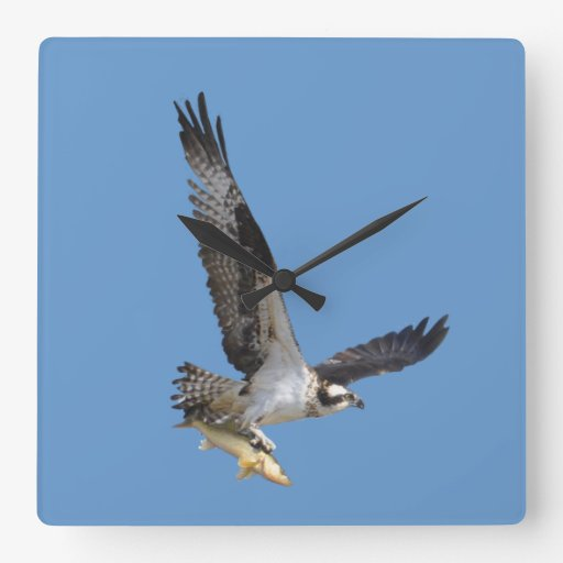 Flying Osprey & Fish Wildlife Photography Square Wall Clock