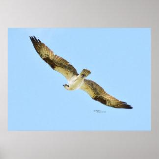 Flying Osprey Hawk Poster