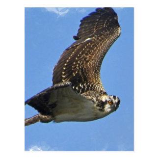 Flying Osprey Postcard