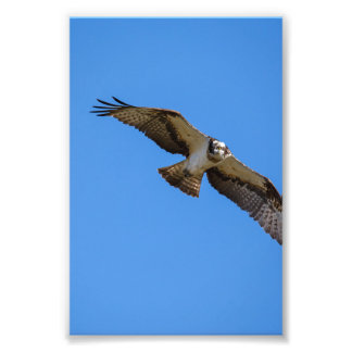 Flying osprey with a target in sight photo print