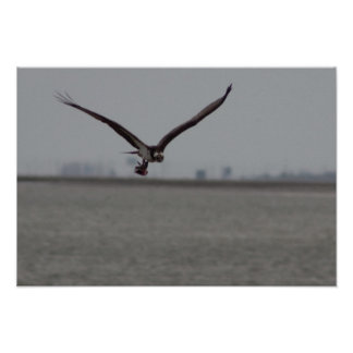 Flying Osprey with Fish Poster