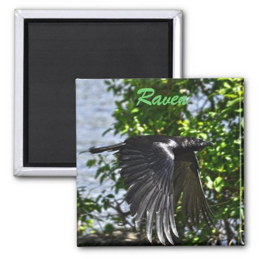 Flying Raven in Sunlight Wildlife Photo 2 Inch Square Magnet