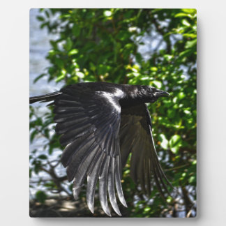 Flying Raven in Sunlight Wildlife Photo Plaques