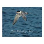 Flying Tern 1 Postcard