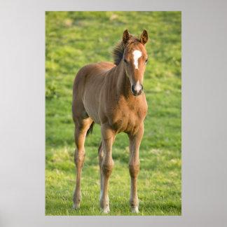 Foal grazing in field in County Wexford, Ireland Poster
