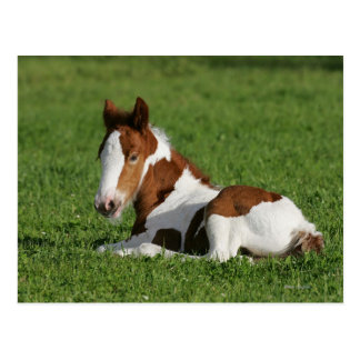 Foal Laying in Grass Postcard