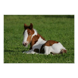Foal Laying in Grass Poster