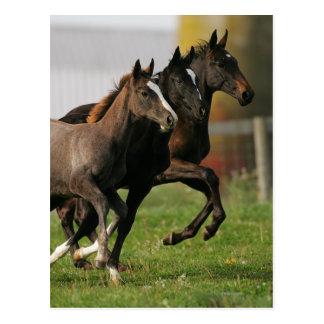 Foal Running Postcard