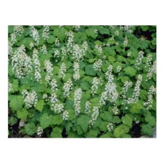 Foamflower (Tiarella Cordifolia) flowers Postcard