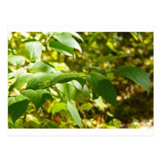 Foco selectivo en la rama de un primer del árbol tarjeta postal