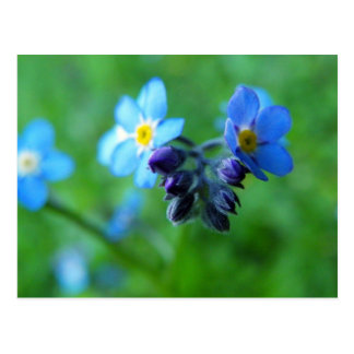 Focus On Forget-Me-Nots Postcard
