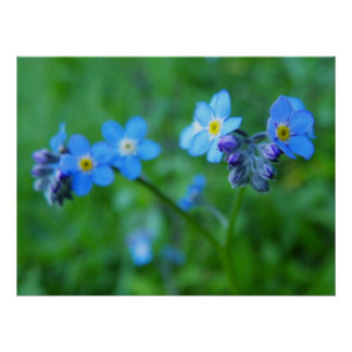 Focus On Forget-Me-Nots Poster