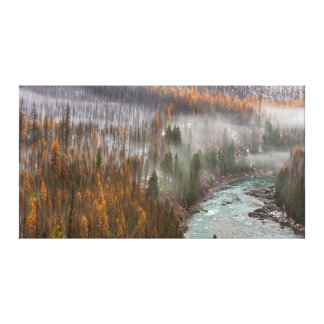 Fog Rolls In On Autumn Larch Trees Stretched Canvas Prints