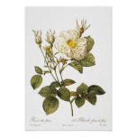 Foliacea alba de Rosa Póster