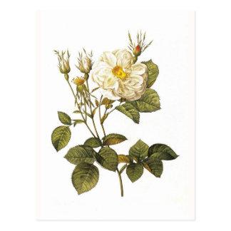 Foliacea alba de Rosa Postales